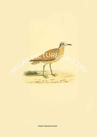 Cream-Coloured Courser